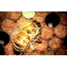 Bee Class # 2: Diseases, Pests, Treatmt, & Yr Cal  9/23